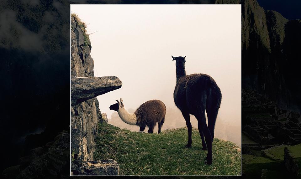 Llama-peru-private-travel
