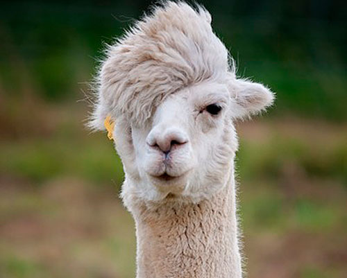 10 Llamas that insist on making your day better