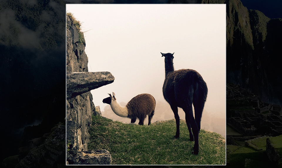 Llama-peru-private-travel